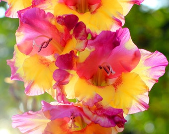 Beautiful Gladiolus at Sunrise - Flower Garden Photo Print - Size 8x10, 5x7, or 4x6