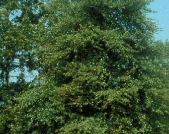50 Black Gum Tree Seeds, Nyssa sylvatica