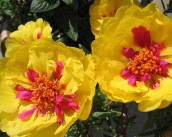 Portulaca Seeds Magic Carpet Mix, Flower, Attracts Butterflies to the Garden, 25 Seeds