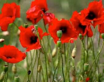 Oriental Scarlet Poppy, Papery Blooms with Black Eyes, 25 Seeds