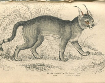 Antique Hand Colored Steel Engraved 1800's Book Plate Print Jardine Natural History Library Vol XVI Mammalia Lions Tigers Lynx  Cat