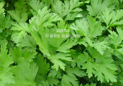 how to grow italian parsley from cuttings