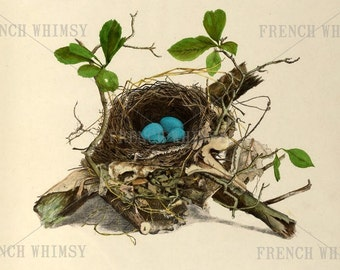 XL Antique Book Plate of Robin's Nest and Eggs. Image 12 x 14 Inches / 30x35 cm High Res Printable Wall Art - CU Digital Download