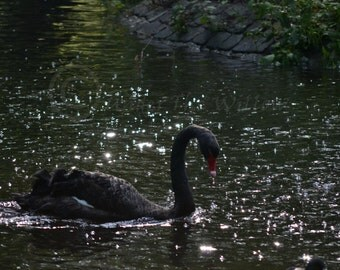 Black Swan, Nature Photography