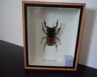 Real Odontolibis Elgans Beetle Boxed Insect DisplayTaxidermy Entomology