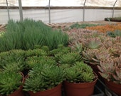 This listing is for ten  4 inch medium size succulents . We will hand select a healthy and beautiful assortment of succulents