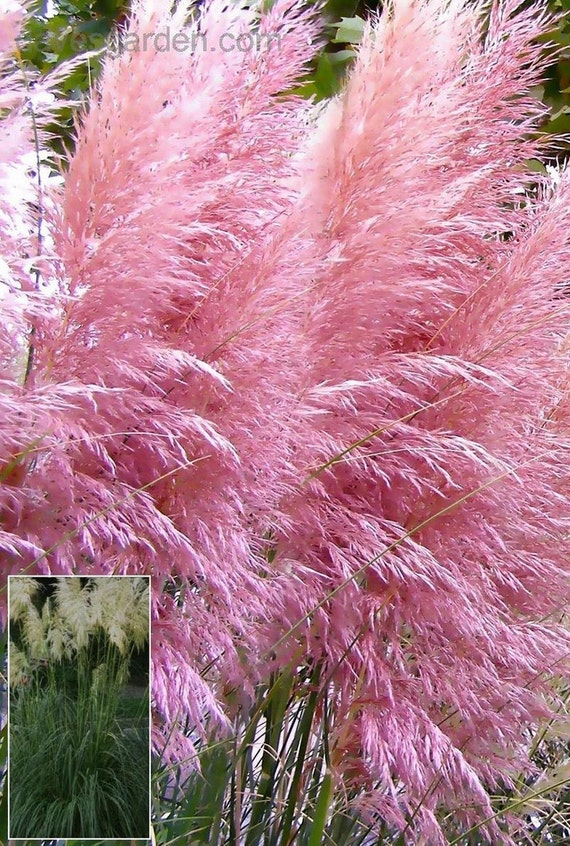Pink pampas grase seeds aka pink feather pink plume for Quick growing ornamental grasses