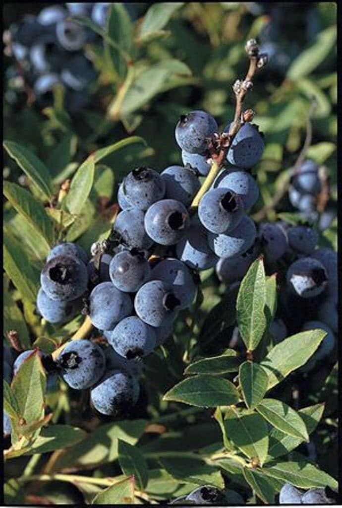 Organic Blueberry Seedslowbush Blueberry Seeds By