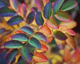 Native Scottish Rose Bush, Fall colored leaves, yellow orange, deep purple & green, rich fall colors, landscape photography