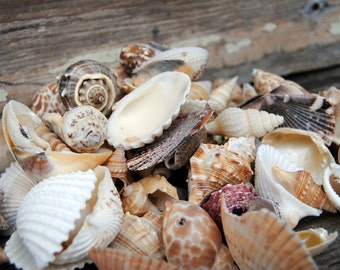 Beach Decor - Assorted Beach Shells - Craft Shells - Bulk Shells