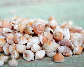 2.2oz Orange Nutmeg Shells - Craft Shells - Bulk Shells - Beach Decor - Jewelry - Craft Supply