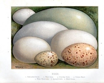 1896 Antique Egg Print Eggs Petrel, Swan, Goose, Crake Home Decor Birds