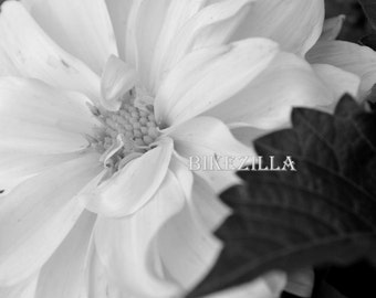 Black and White: Dahlia #2 (BW)