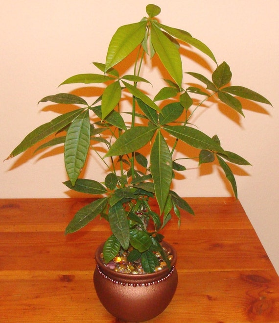 Money Tree Indoor Plants Decorated Pots Fancy Plants