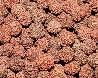 10 Elaeocarpus ganitrus Seeds, Rudraksha Tree Seeds