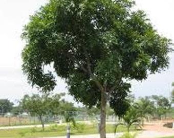 15  Seeds Khaya senegalensis ,African mahogany, Mahogany Seeds