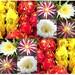 10 x Selenicereus Seed Mix - Moonlight Cactus Seeds - Queen Of The Night - Dragon Fruits Pitaya Seeds