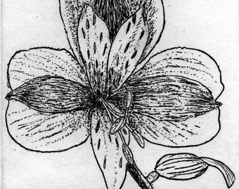 Alstromeria    -   Hand Printed,  Black & White  Original Intaglio Etching and Engraving, Limited Edition, Flower, Garden, Drawing,Botanical