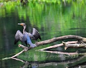 Silver River Cormorant...
