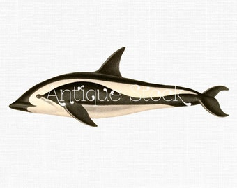 Hourglass Dolphin Old image Fish Drawing Dolphin Clip Art - Vintage illustration