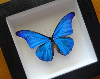 Morpho Cacica Male From Peru Framed - Taxidermy - Home Decoration - Collectibles