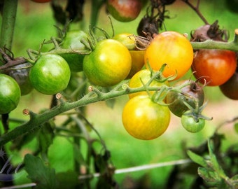 Nature Photography.  Tomato and Garden Photography.  Summer and Fall Photography. 8x12 Print