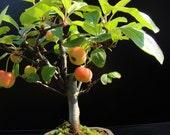 7 Mini Apple Fruit Bonsai Seeds, Bonsai Mini Apple Tree, Apple Bonsai Fresh Exotic Tree Seeds