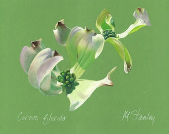 Print of an original pastel drawing of a dogwood bloom