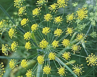 Fennel - Pure Essential Oil