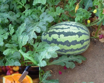 Israeli Fresh Organic Orangeglo Watermelon * 10 Seeds * Citrullus lanatus RARE