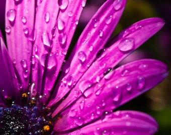 Pink daisy with water droplets.