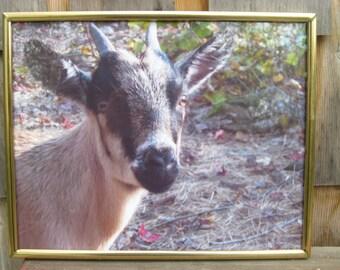 Fauna my mini goat