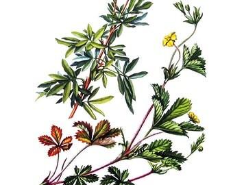 Shrubby Cinquefoil, Common Five Finger - Botanical Print - 1954 Vintage Book Page - 11 x 8