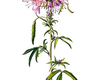 Pink Cleome Botanical Print - 1954 Vintage Book Page - 11 x 8