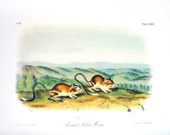 Pouched Jerboa Mouse - Audubon Animal Print -  1989 Vintage Book Page for Framing  - Naturalist Illustration