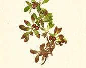 Flower Print - Alpine Berry - Vintage Wild Flower Print - Botanical Book Print - Wild Flowers of America - Bearberry - Mary Vaux Walcott