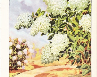 1926 Flower Print - Hydrangea - Vintage Home Decor Botany Art Illustration for Nature Science Woman Great for Framing