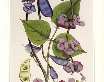 Vintage Botanical Print Hyacinth Beans Book Plate SALE~~ Buy 3, get 1 Free