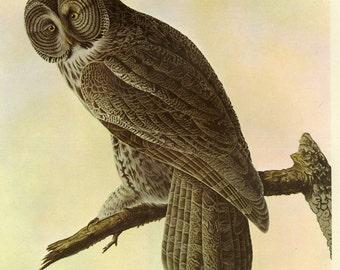 Great Grey Owl Print Book Plate SALE Buy 3, get 1 FREE