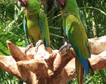 Beautiful Green Macaws