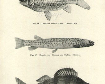 Antique Print, Fish Chart 1930s beautiful wall art vintage b/w lithograph illustration bookplate
