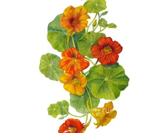 Nasturtiums Botanical Print Watercolor Flower Wall Art by Janet Zeh