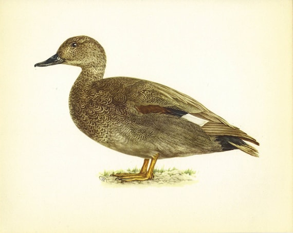 Duck Print Bird Print Lithograph Home Decor by TheWholeBook