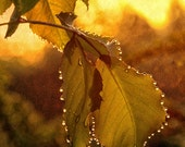 MORNING DEW,  rose leaves, nature Photography print