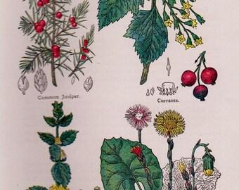 Medicinal Plants Print Botanical Print Herbalism Cottage Decor Homeopathy Herbalist Vintage 1900s Botanical Print Plaindealing 327