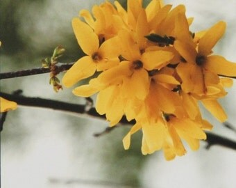 Cluster of Yellow, Forsythia, Art Photography