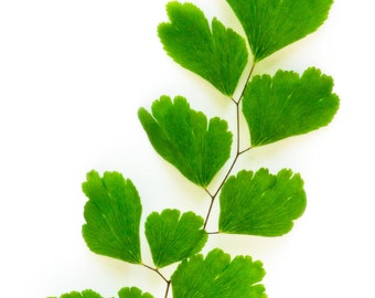 Maidenhair Fern #05,  fine art flower photography, nature print wall home decor