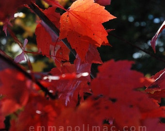 Zen art nature photography, red fall leaves in sunlight, colourful bright autumn print, ready-to-frame, cottage chic, relaxing art