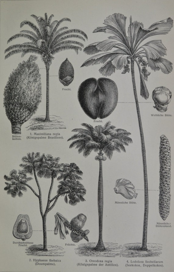 Palm tree engraving. Old book plate, 1904. Antique  illustration. 111 years lithograph. 9'6 x 6'2 inches.