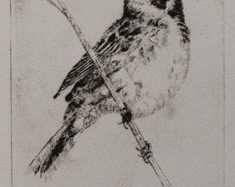 Drypoint etching - Singing reed bunting.